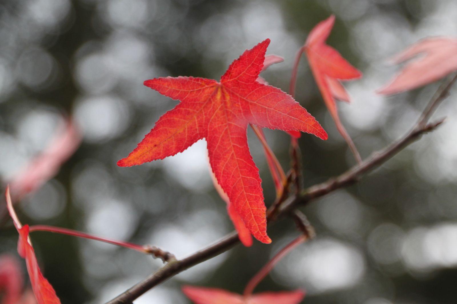 Erable dans le jardin de ma Grand-mère, Novembre 2012