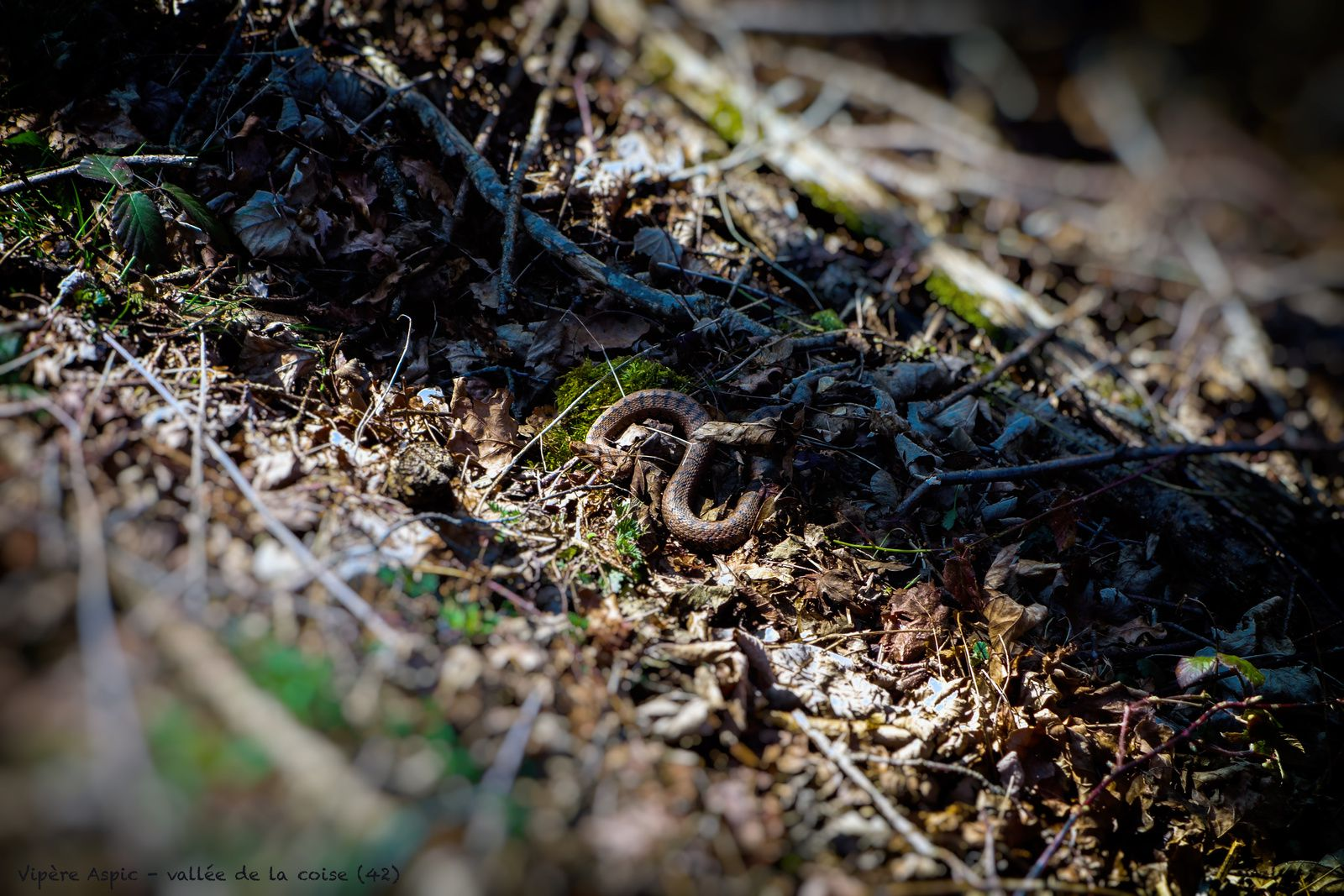 La vipère aspic dans son milieu naturel