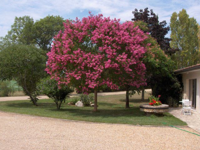 Lilas des indes monjardindansleslandes for Arbre a petit developpement