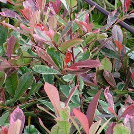 Photinia x fraserii 39 pink marble 39 cassini for Plante feuille rouge