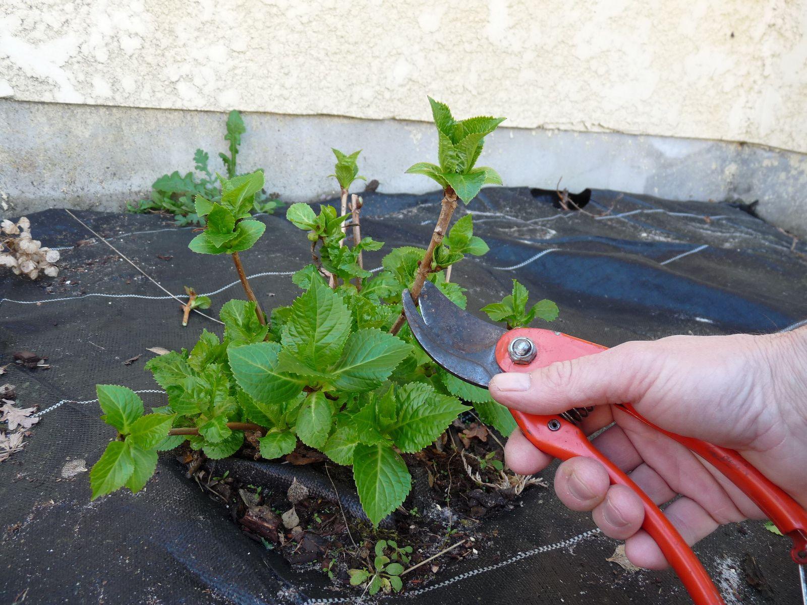 Taille d 39 un hortensia monjardindansleslandes - Faut il tailler les hortensias ...