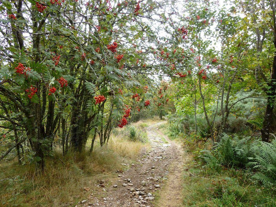 Beaucoup de sorbiers des oiseleurs avec les petites boules rouges.