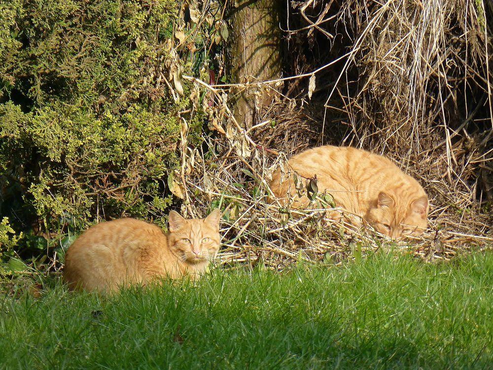 deux des chats qui squattent le fond de mon jardin semblaient en profiter ...