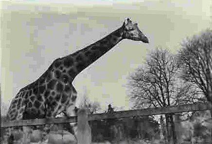 girafe du zoo de Vincennes dans les années 1950