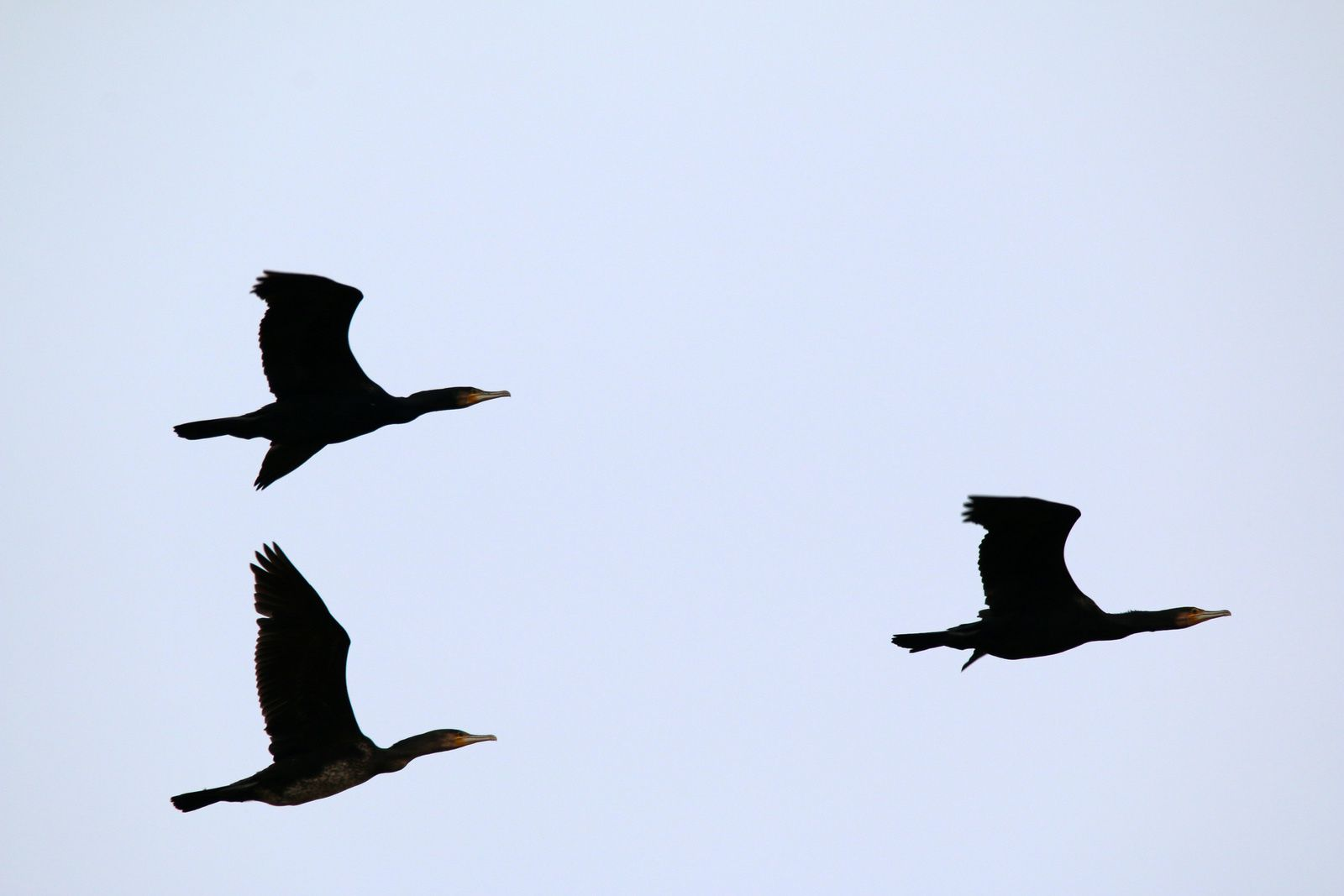 Jamais vu autant de cormorans, passage d'une dizaine de volatiles au dessus de la rigole.