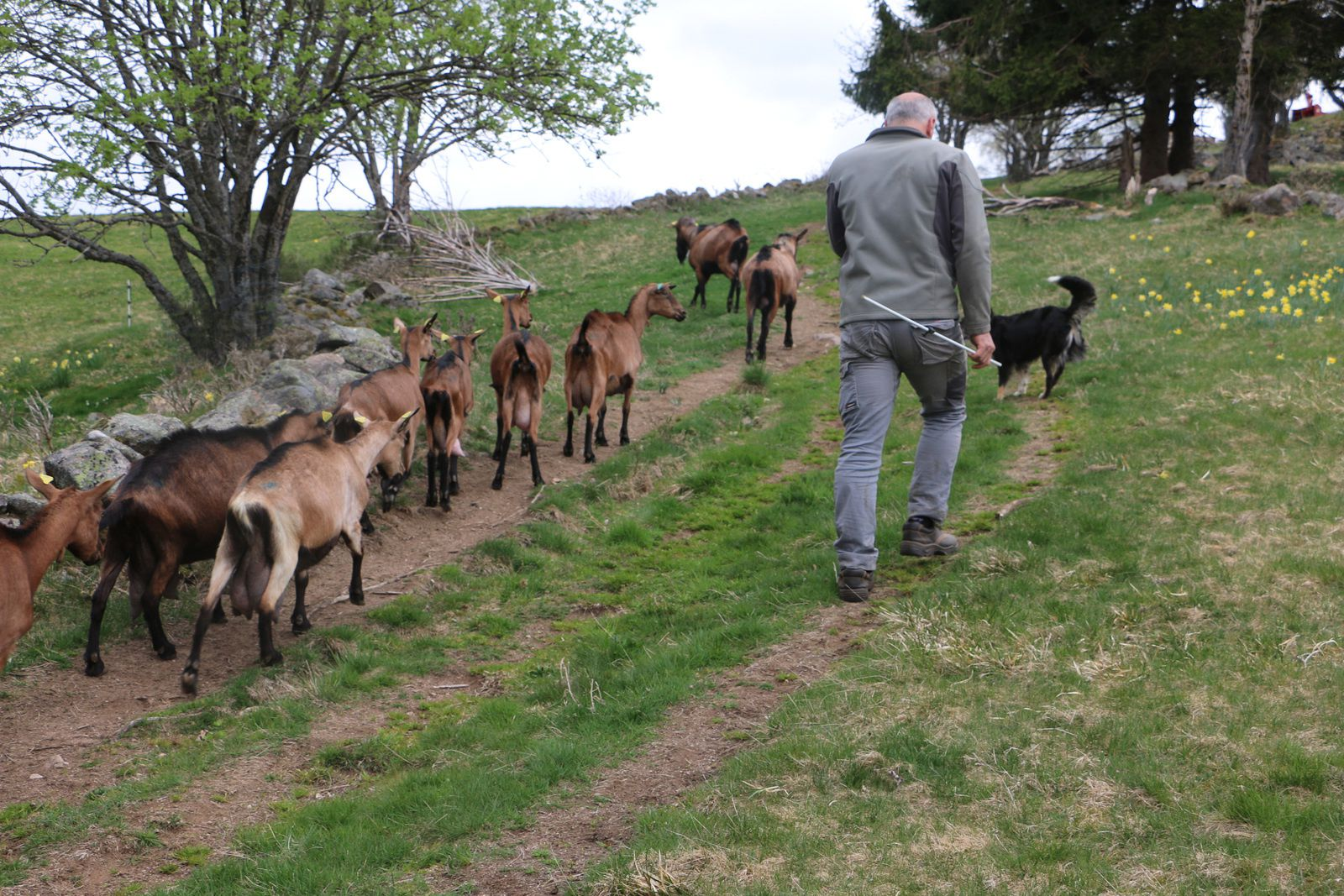 Il faut dans un premier temps, aller chercher les chèvres dans la montagne, avec l'aide précieuse de la fidèle Louna, chien de berger.