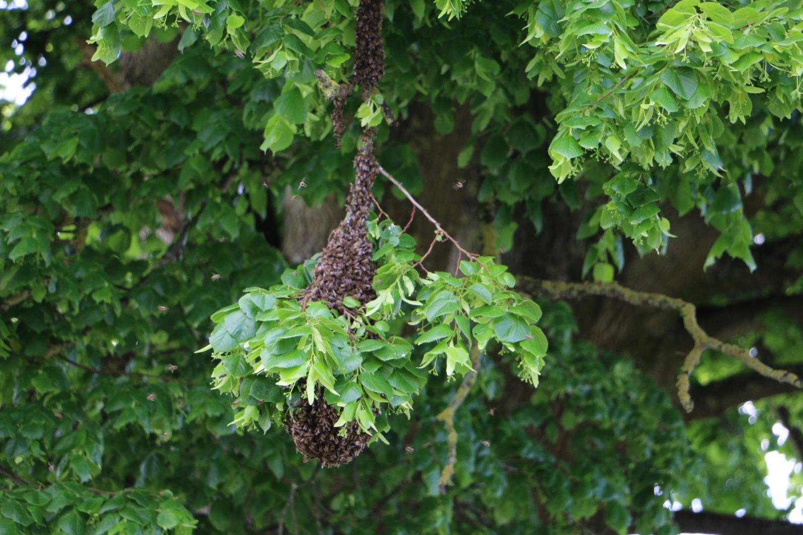 Un essaim d'abeilles chemin du Tilloy.