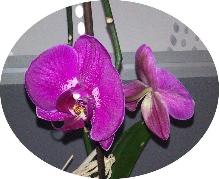 Phalaenopsis n°1