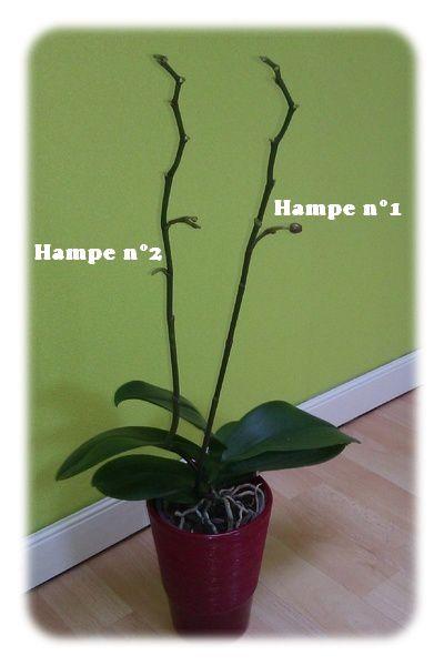 Phalaenopsis n°3