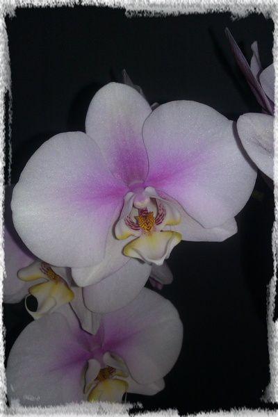 Phalaenopsis n°2