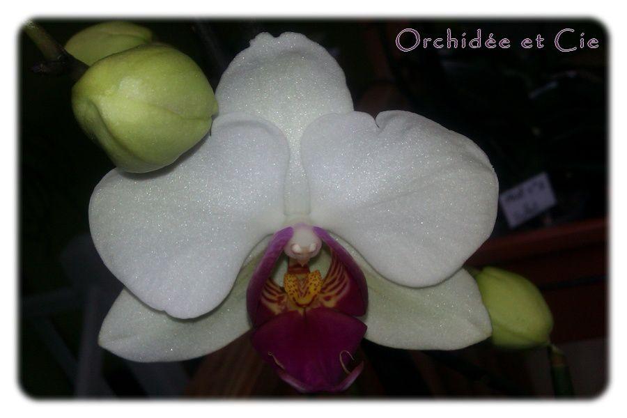 Phalaenopsis n°8