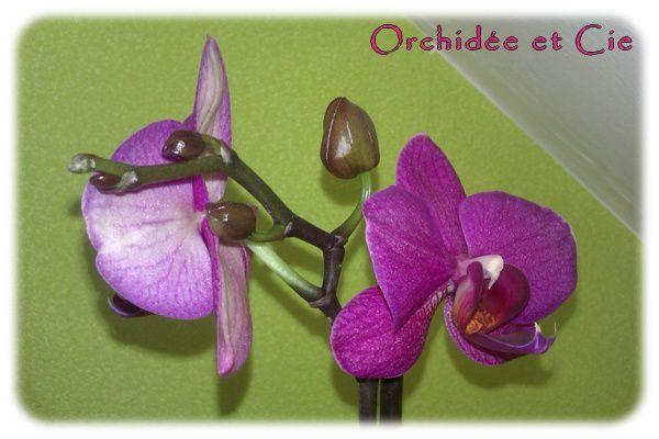 Phalaenopsis n°6