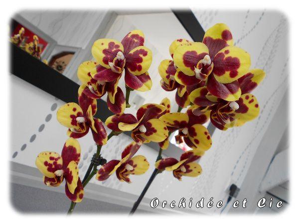 Phalaenopsis n°15