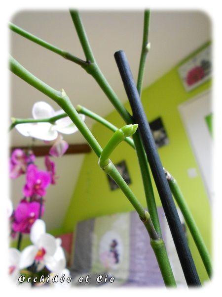Phalaenopsis n°13