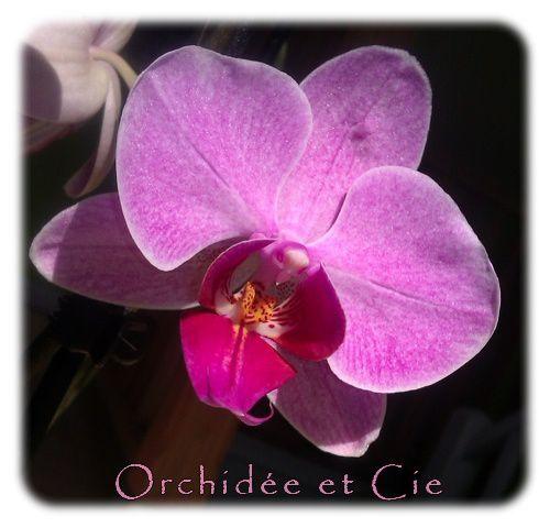 Phalaenopsis n°5