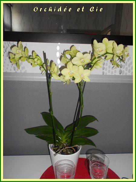 Phalaenopsis n°16