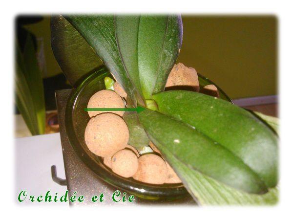 Phalaenopsis n°14