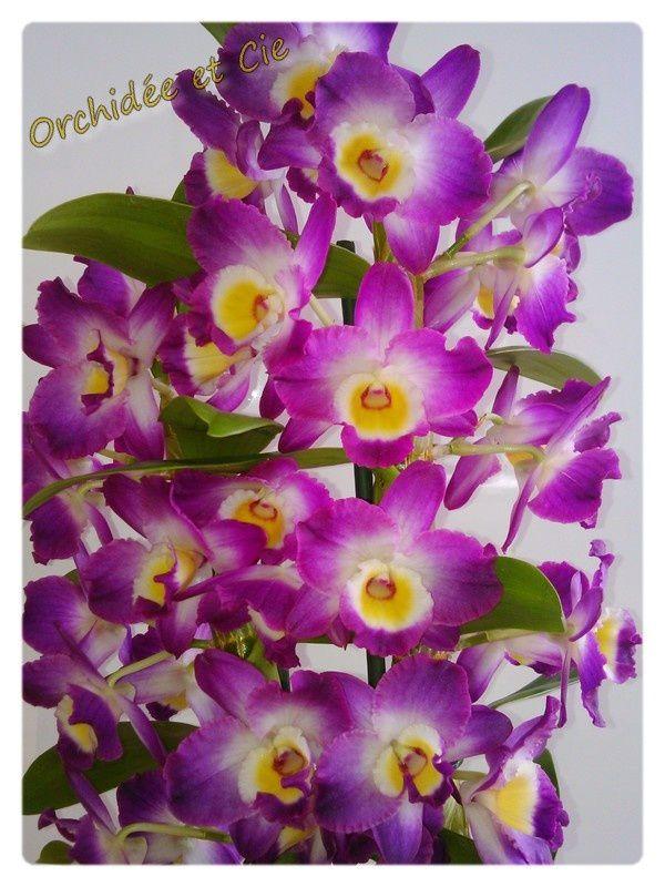 Dendrobium Nobile n°1