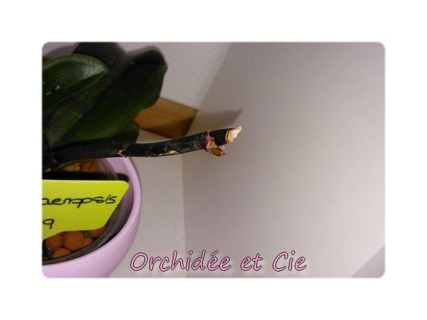 Phalaenopsis n°9