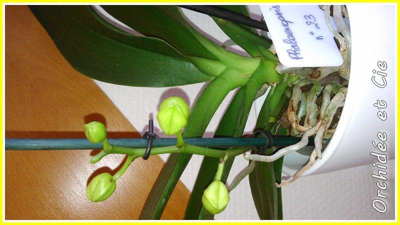 Phalaenopsis n°23
