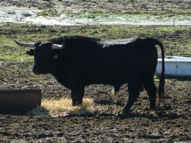Utreros y algún toro mezclado entre ellos.