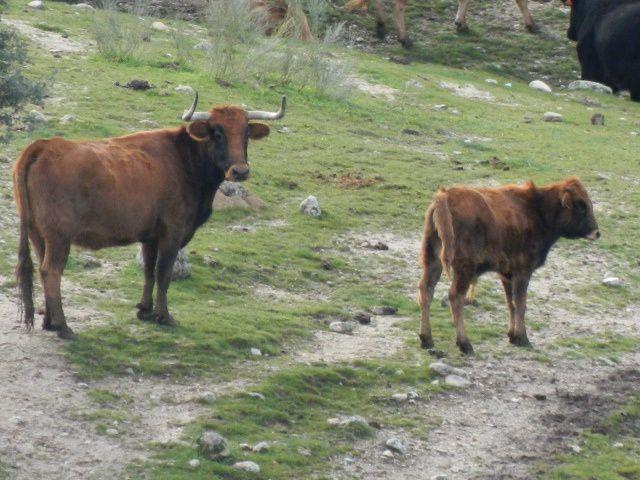Vacas con trapio de utrero. Algunas a punto de parir.