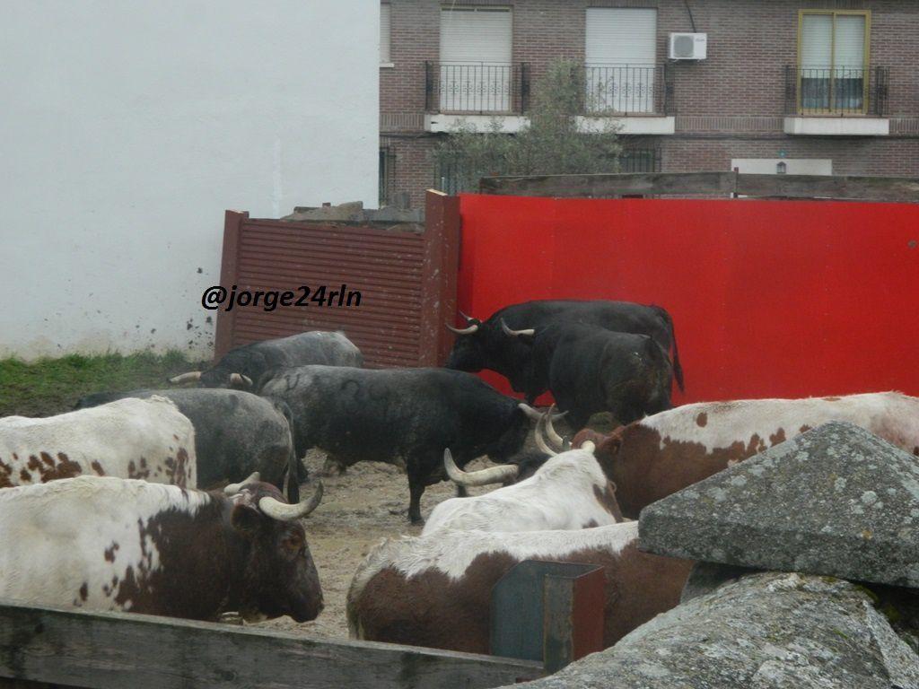 Se mostraban nerviosos los toros de Ana Romero. IMPECABLES DE PRESENTACION.