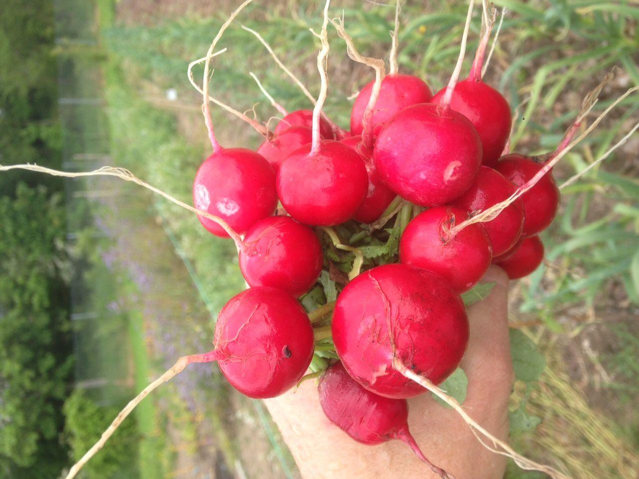 Récolte de radis 'Raxe', une variété excellente au niveau du goût, qui ne pique pas et qui peut grossir.