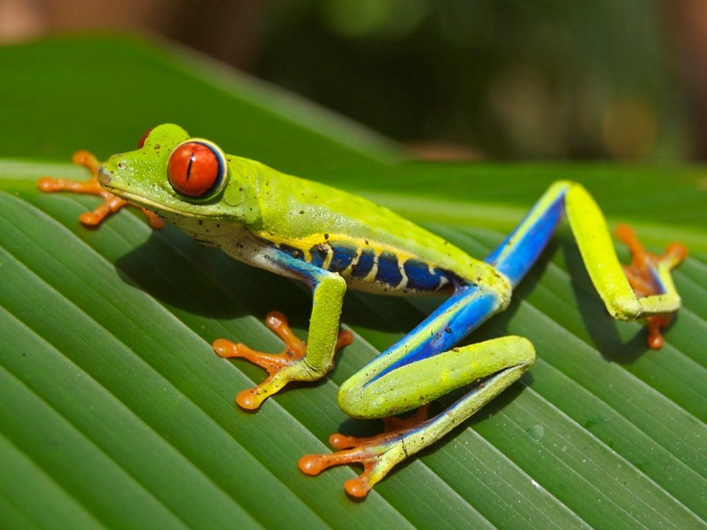 "Carey James Balboa ""red-eyed tree frog."""