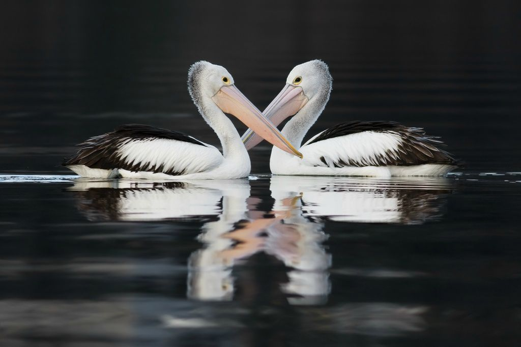 """Australian pelicans' owned by Noodle snacks."