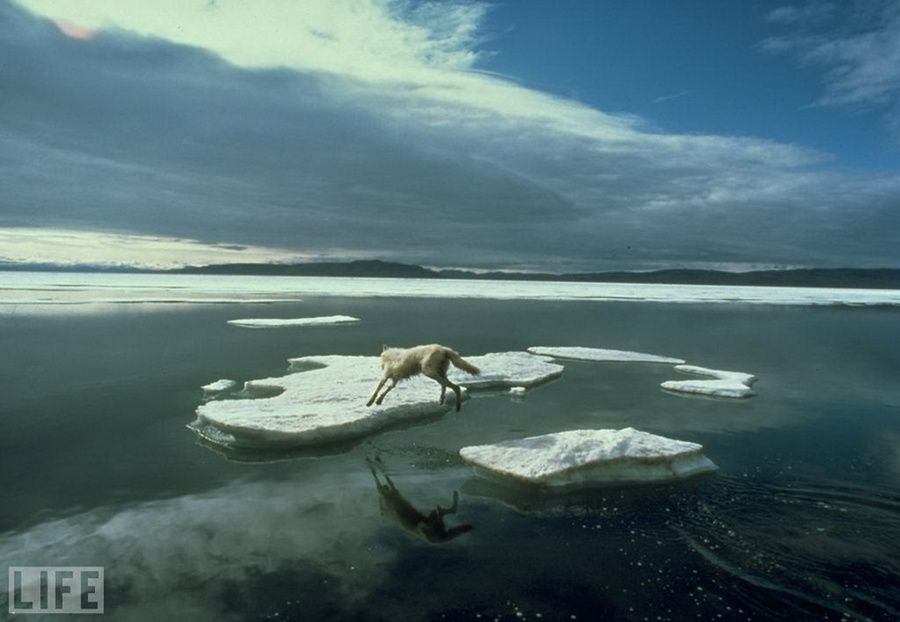 48. Jump lone wolf (A Wolf's Lonely Leap). Photo by Jim Brandenburg, 1986 The struggle for the survival of the polar wolf in northern Canada.