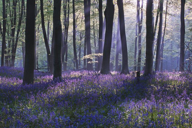 """Bluebell Dawn"", Micheldever Wood, Hampshire - Louis Neville"