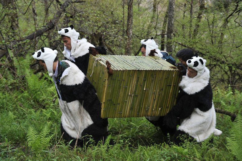 19/ Workers wear panda costumes as they carry a box to transport Giant Pandas back to the wild, at the Wolong National Nature Reserve in Wolong, southwest China's Sichaun province on May 3, 2012. The bears will be left to fend for themselves to learn crucial survival skills, and scientists plan to gradually reduce human interactions until they can live in the wild without any assistance, and while there have already been 10 attempts at setting pandas free over the past 30 years, and only two are thought to have been successful as the bears find it very hard to survive on their own. AFP PHOTOAFP/AFP/Getty Images