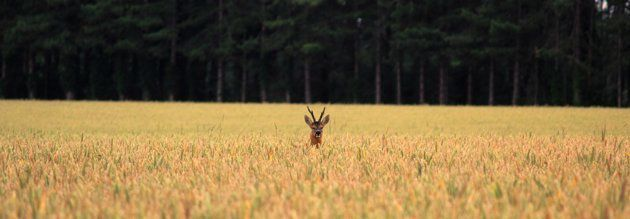"""Roe Deer in White Field"", Suffolk - Rowley Taylor"
