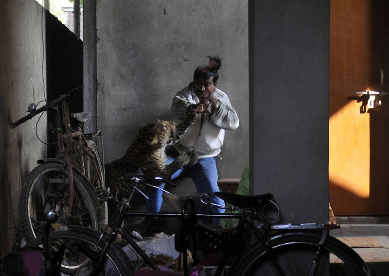 34/ A leopard (Panthera pardus) attacks and wounds Pintu Dey, an Indian laborer in a residential neighborhood of Silphukhuri area in Guwahati on January 7, 2012. Three people were seriously injured in the leopard attack before the feline was tranquilized and taken to Assam state zoo. Pintu Dey, in his 40s, is recovering in a hospital in India's northeastern state of Assam after being badly mauled outside his house in the attack. AFP PHOTO/STRSTRDEL/AFP/Getty Images