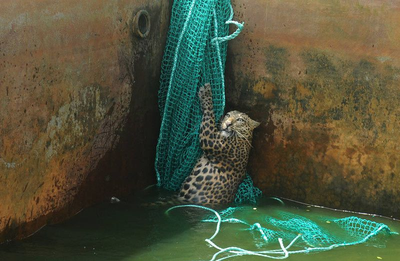 62/ A fully grown male wild leopard climbs a net after it fell into a water reservoir tank at a tea estate in Haskhowa, some 45 kms from Siliguri, on June 20, 2012. The animal was rescued by the Sukna Forest rescue team from the Mahananda Wildlife sanctuary by lowering a ladder and a net into the tank. AFP PHOTO/Diptendu DUTTA/AFP/Getty Images