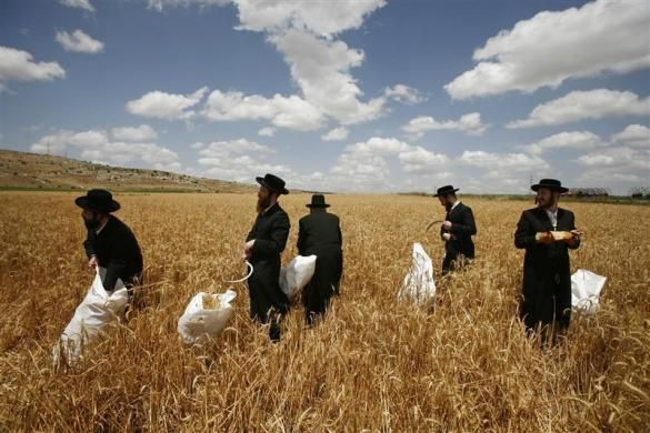 Ultra-Orthodox Jewish men harvest wheat in a field near the Jewish yichouv of Mevo Horon May 12, 2011.  REUTERS/Baz Ratner