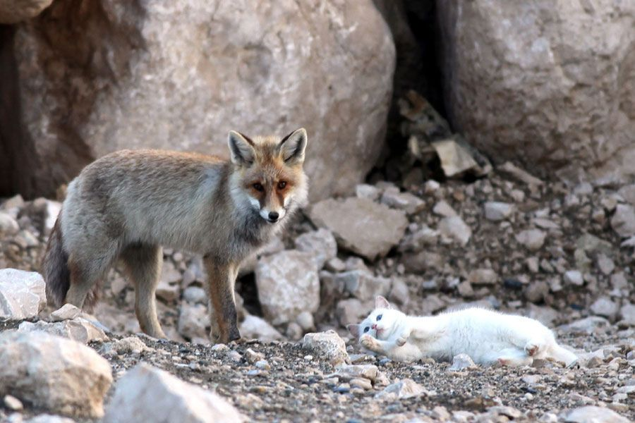 Le Chat et le Renard (5 photos)