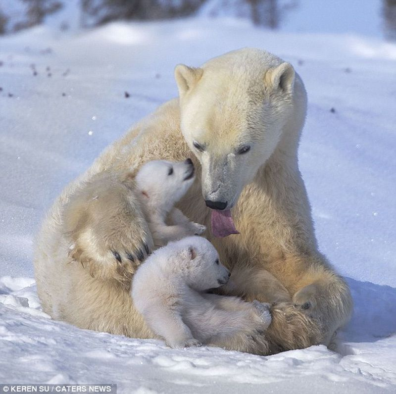 Les Mam-ours polaires, en 9 photos