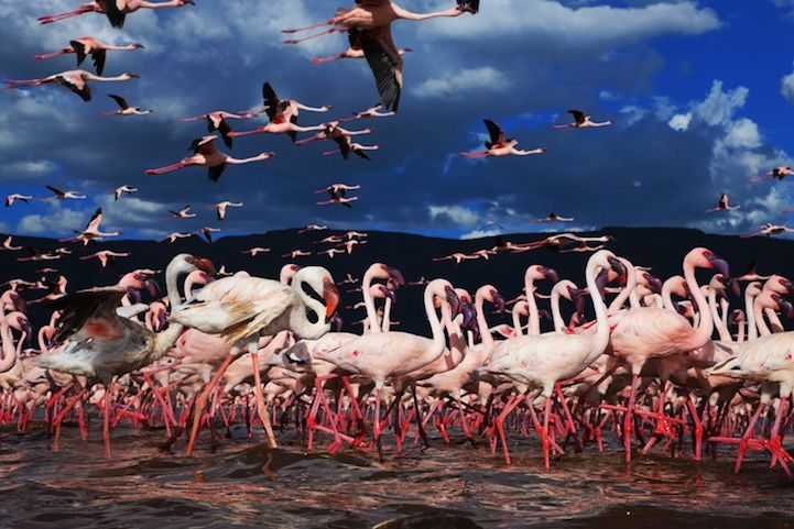 La vie en Rose : Migration de flamands rose par Martin Harvey (10 photos)