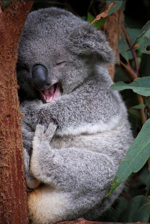 La belle vie des koalas