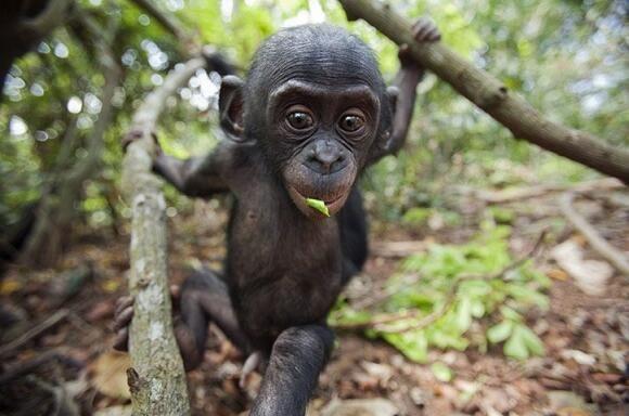 « Singe. Animal arboricole qui se sent également très à l'aise dans les arbres généalogiques.  » Ambrose Bierce