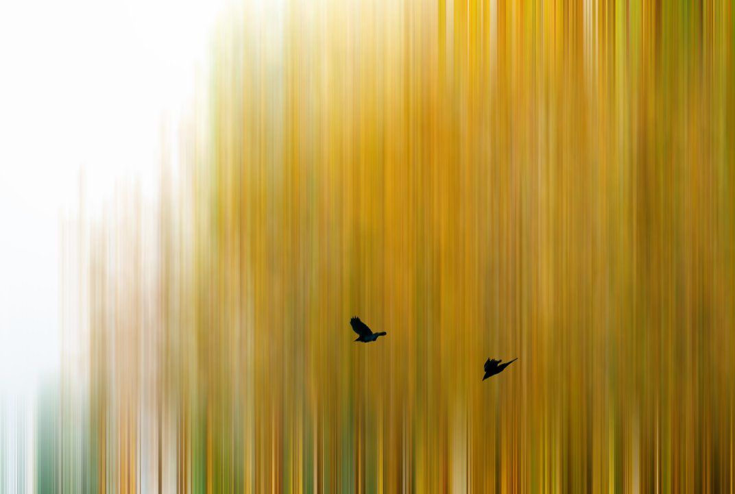 Ravens flying over oak trees in autumn. (Los Angeles, California, Nov 2013, Photo Pistolwish )