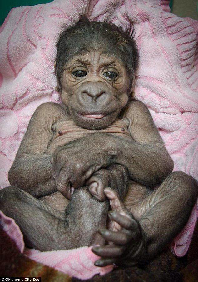 Newborn gorilla