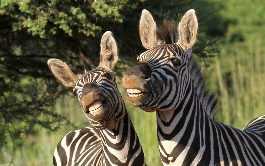 A pair of zebras smile for the camera at Sondela Nature Reserve in South Africa