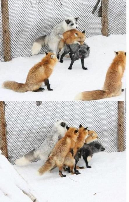 La vie amoureuse multicolore des renards