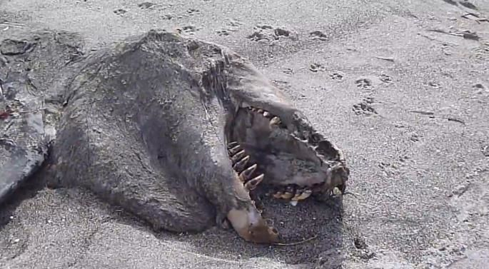 La carcasse d'un mystérieux animal marin s'échoue sur une plage de Nouvelle-Zélande