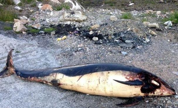 Mystère autour d'un cadavre de dauphin échoué en Irlande