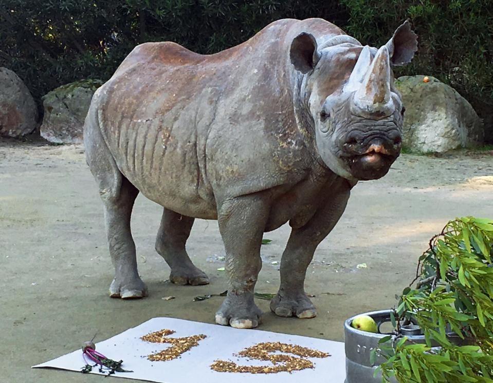 Le plus vieux rhinocéros noir d'Amérique du Nord a fêté ses 45 ans