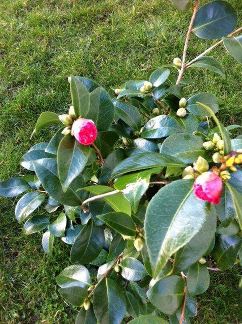 Les premières fleurs de mon camélia